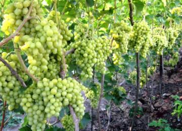 Выращивание винограда — не все так сложно, как кажется на первый взгляд