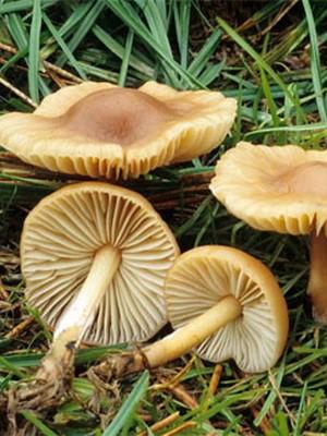 рыжие грибы похожие на опята
