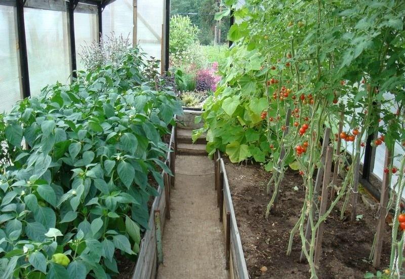 как правильно формировать помидоры в теплице пошагово